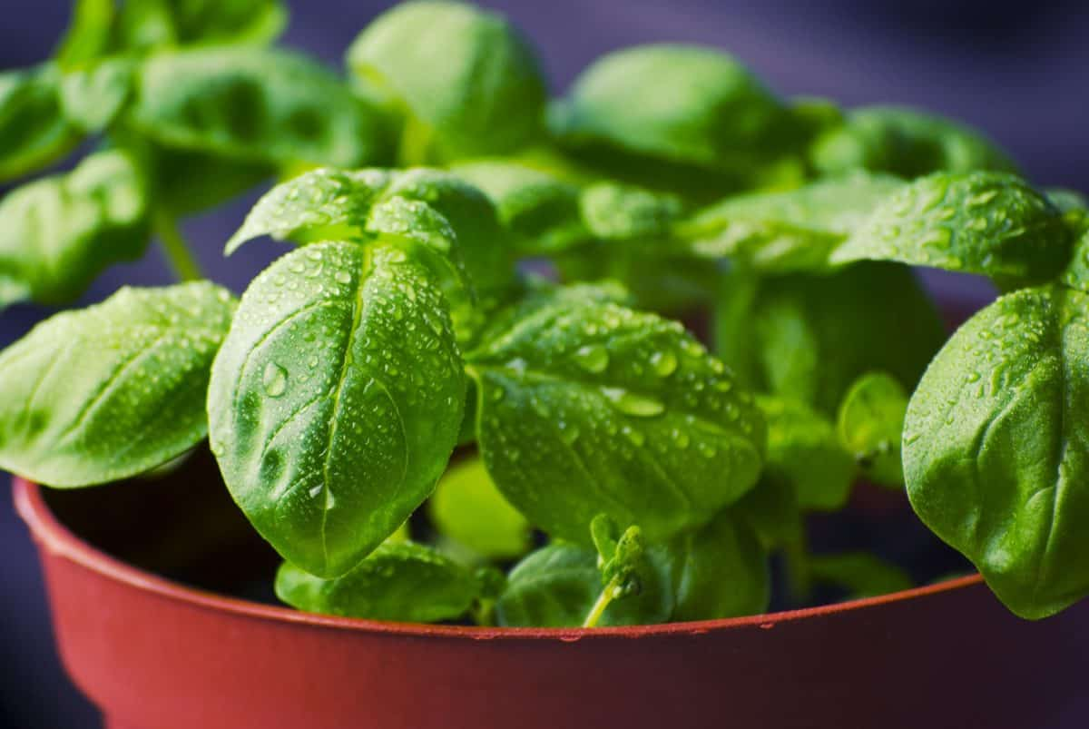 There are many varieties of basil that will repel mosquitos.
