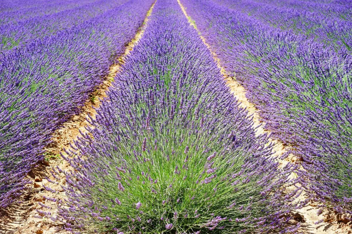 Lavender has a calming fragrance except to mosquitos.