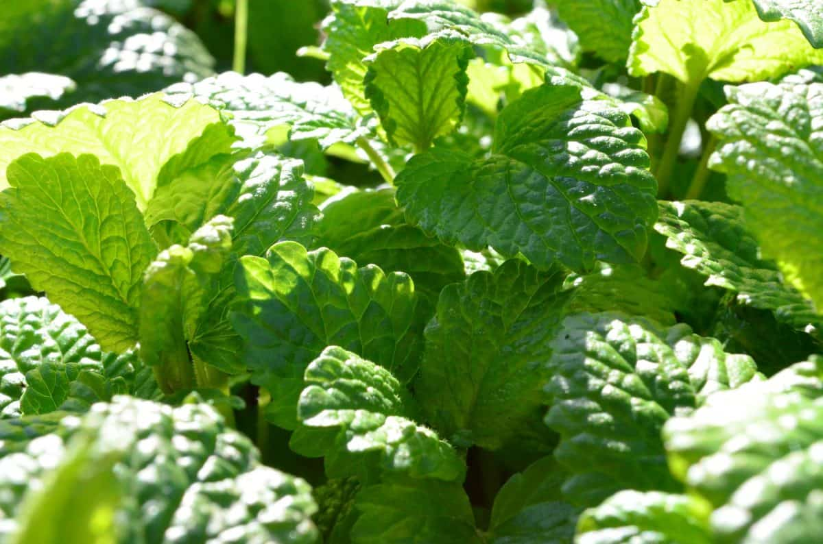 Lemon balm is a great herb used for cooking.