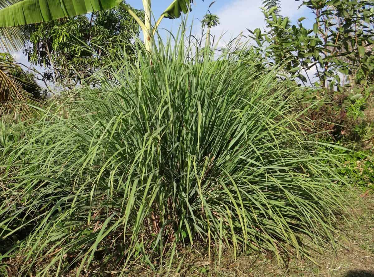 Lemongrass is an aromatic low-maintenance plant that repels mosquitos.