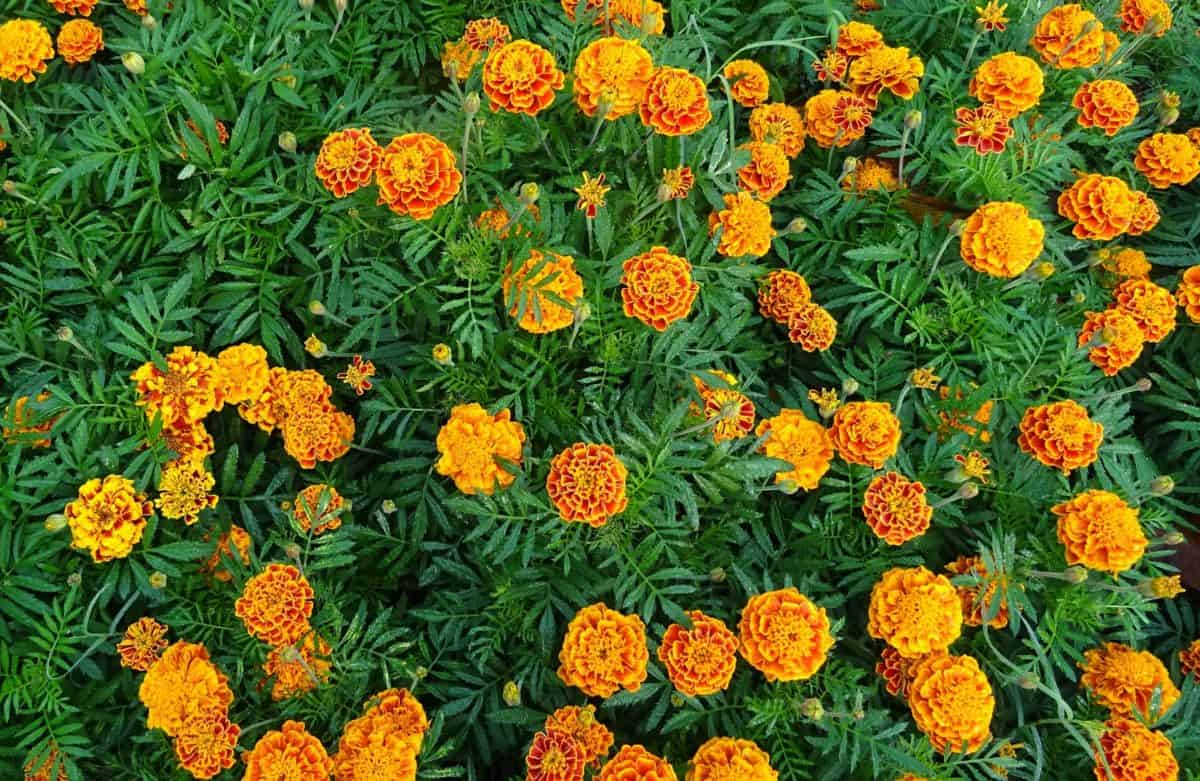 Marigold is beautiful and functional.