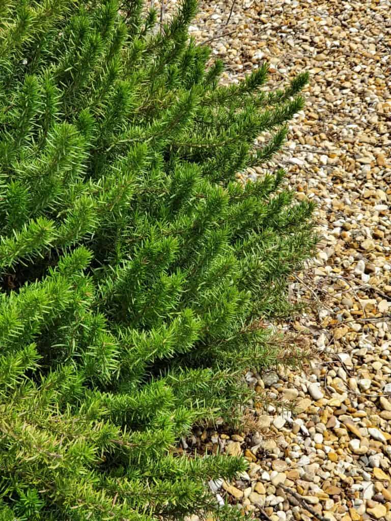 Rosemary is used as a natural mosquito deterrent