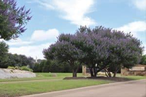 Panther Creek Estates Vitex Trees
